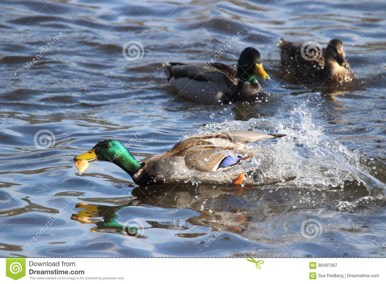 The Duck with the Bread