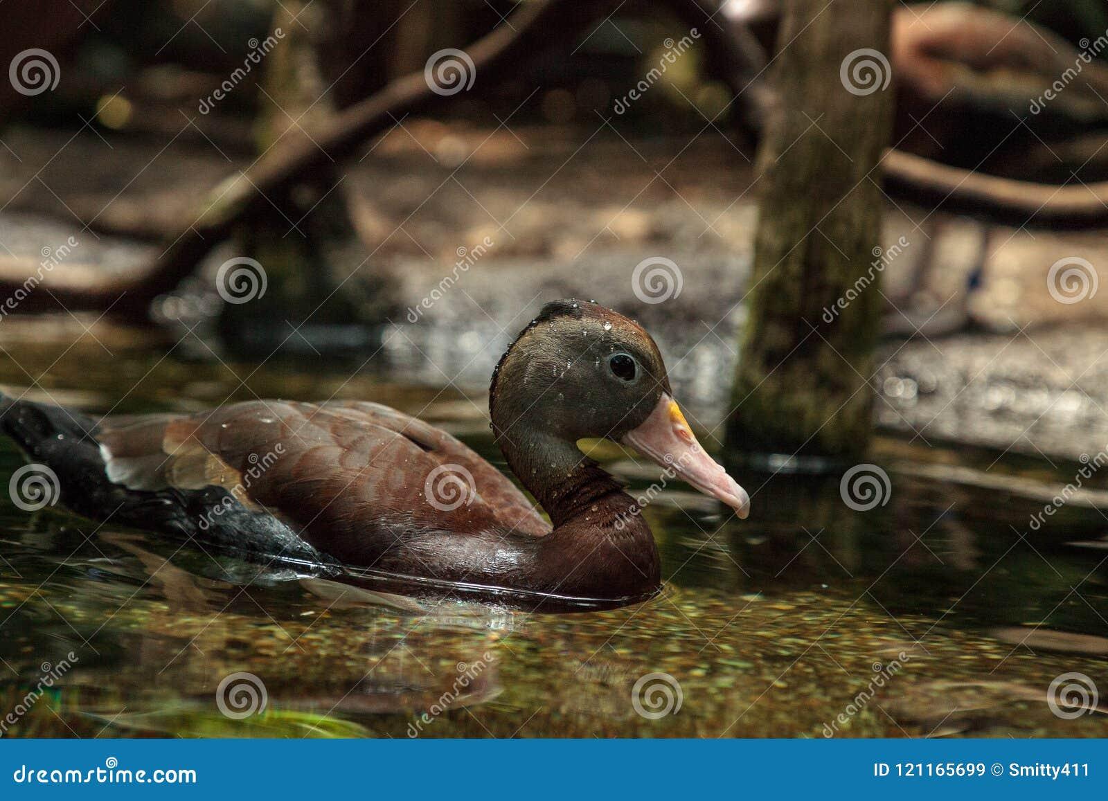 Duck Dendrocygna siffleur fauve bicolore