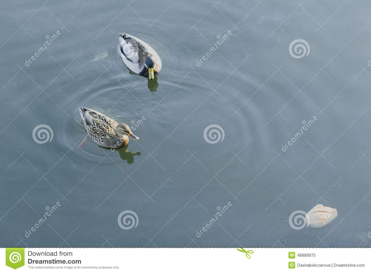 Duck, drake and bread stock image  Image of rivalry, survival - 48889975