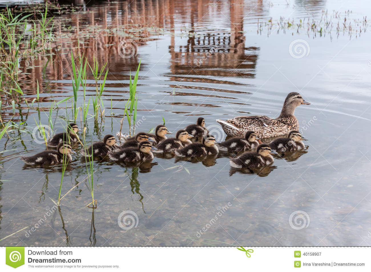 Duck ducklings lake