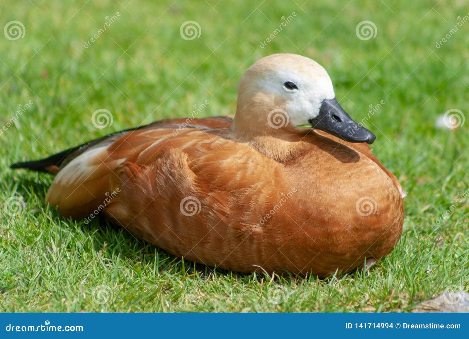 A duck enjoing sunbath