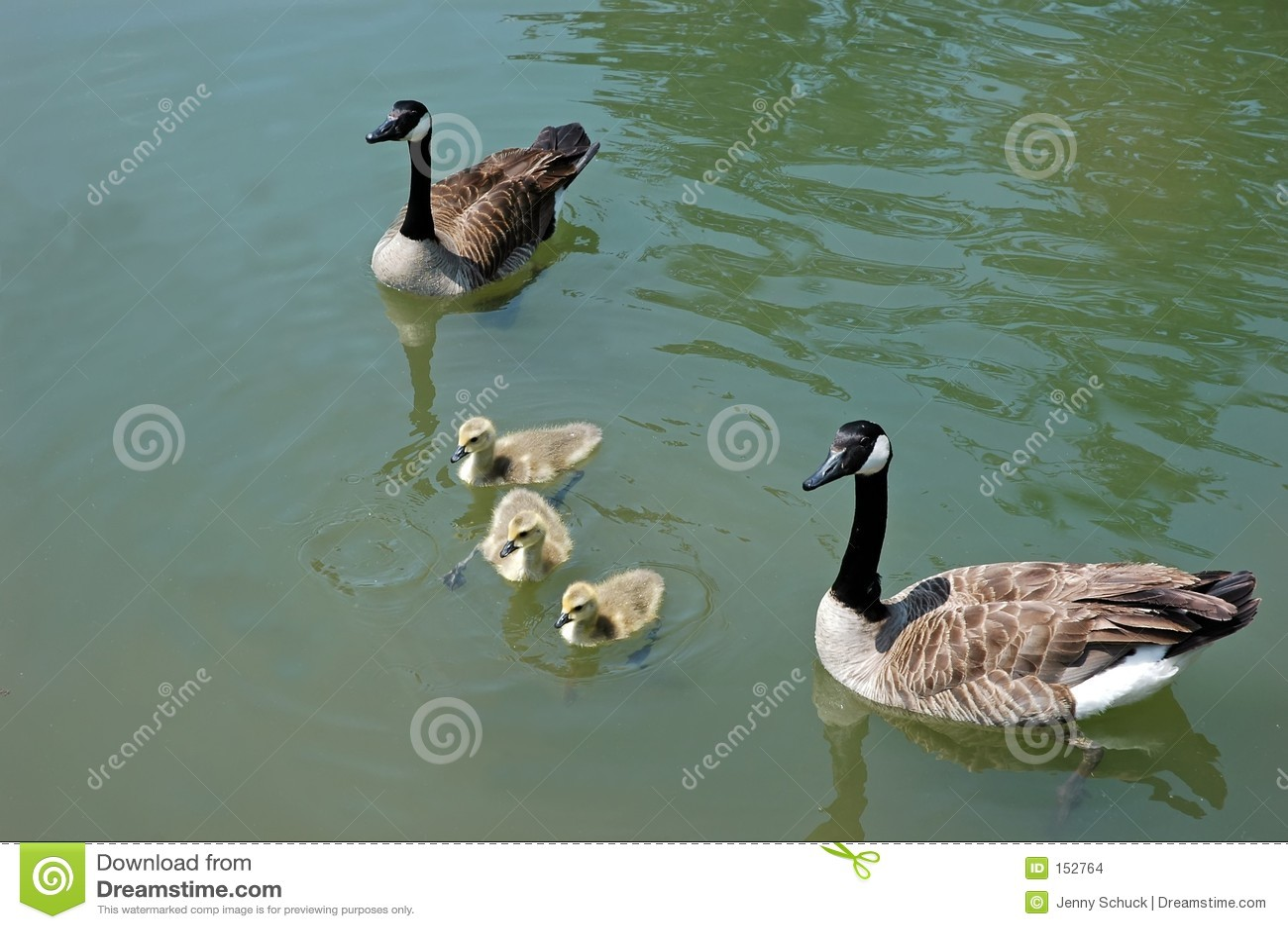 Duck family