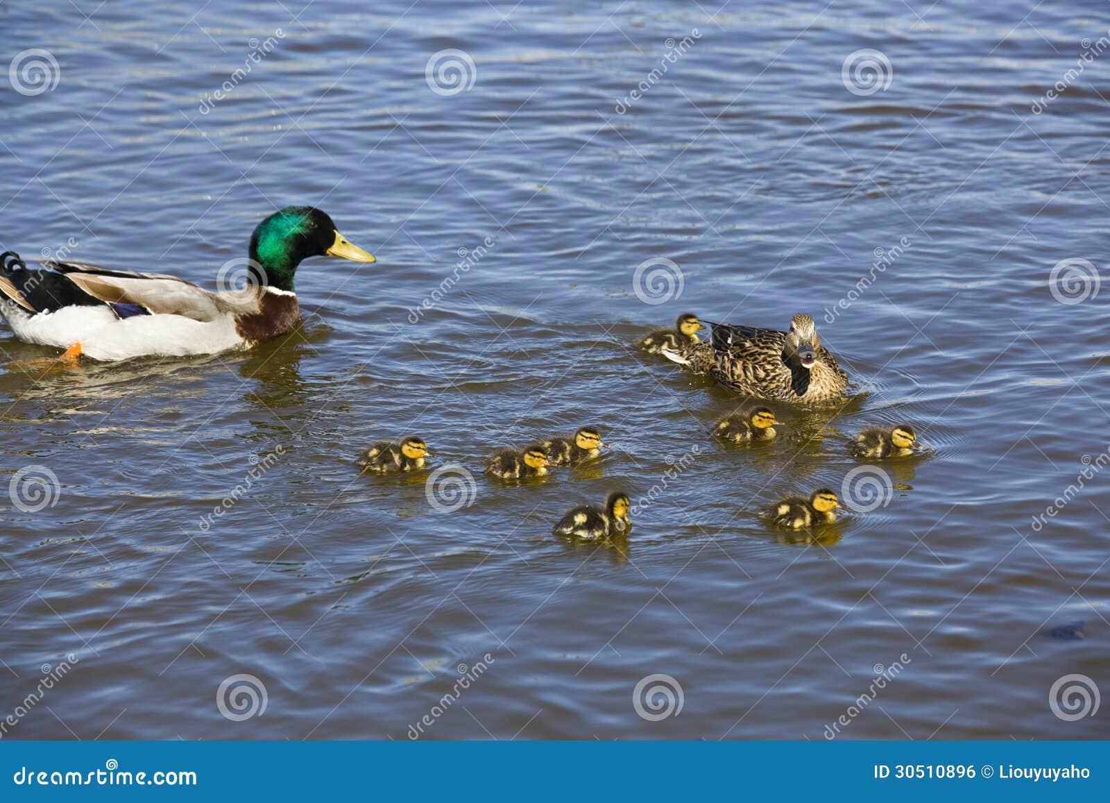 Duck family stock photo. Image of life, animal, happy ...