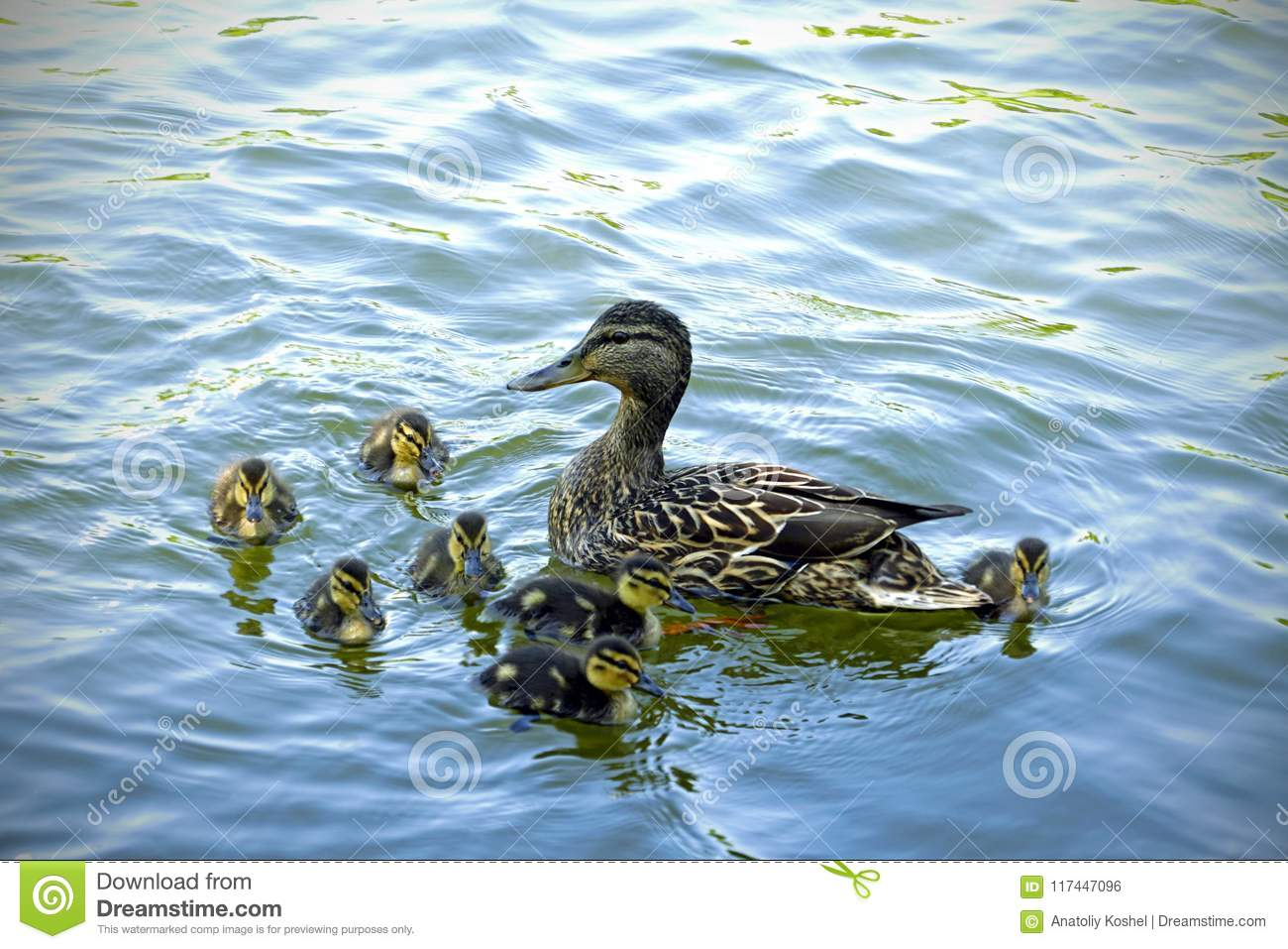 Duck family. Mother duck and little ducklings