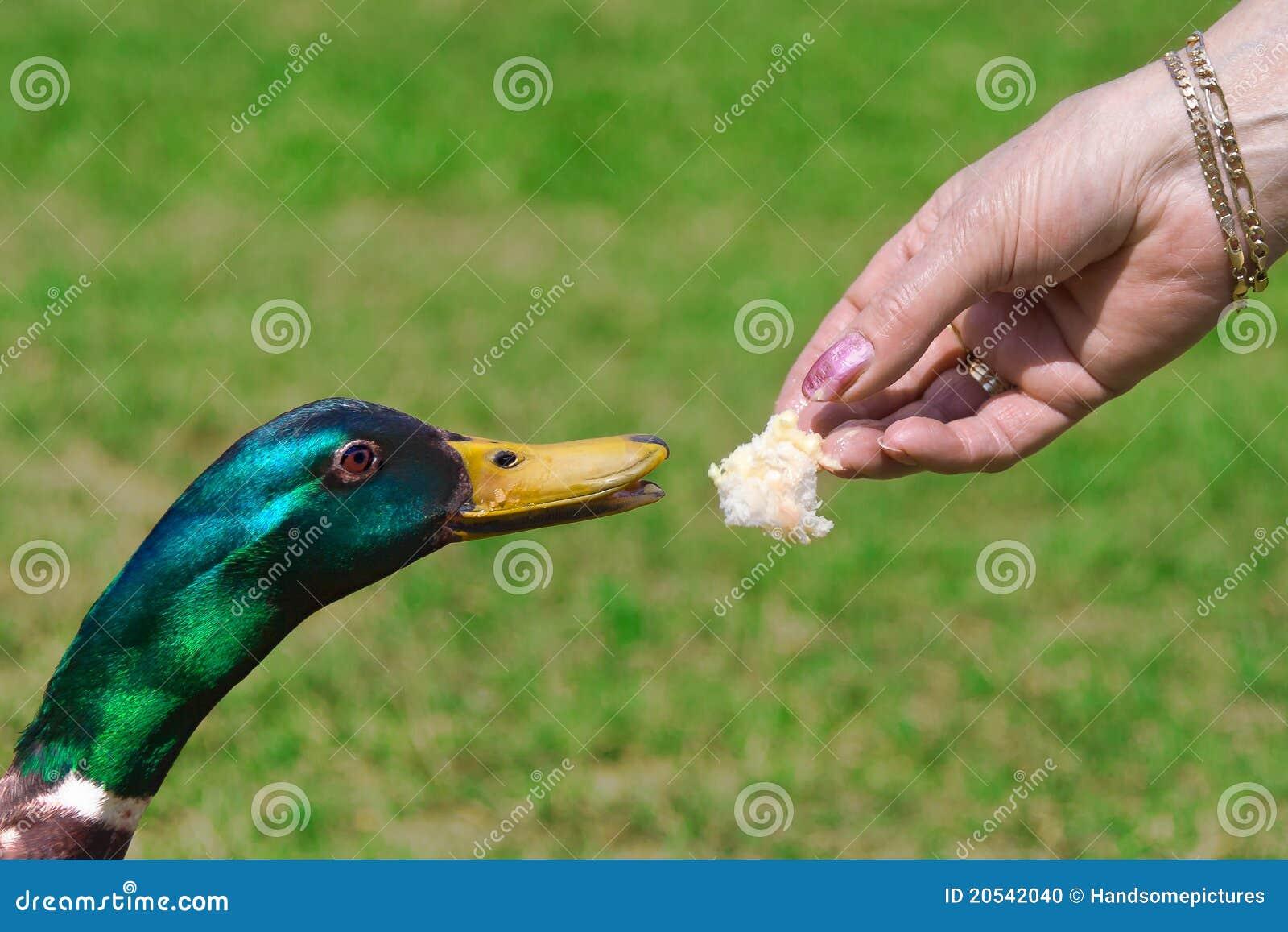Duck Feeding On Bread