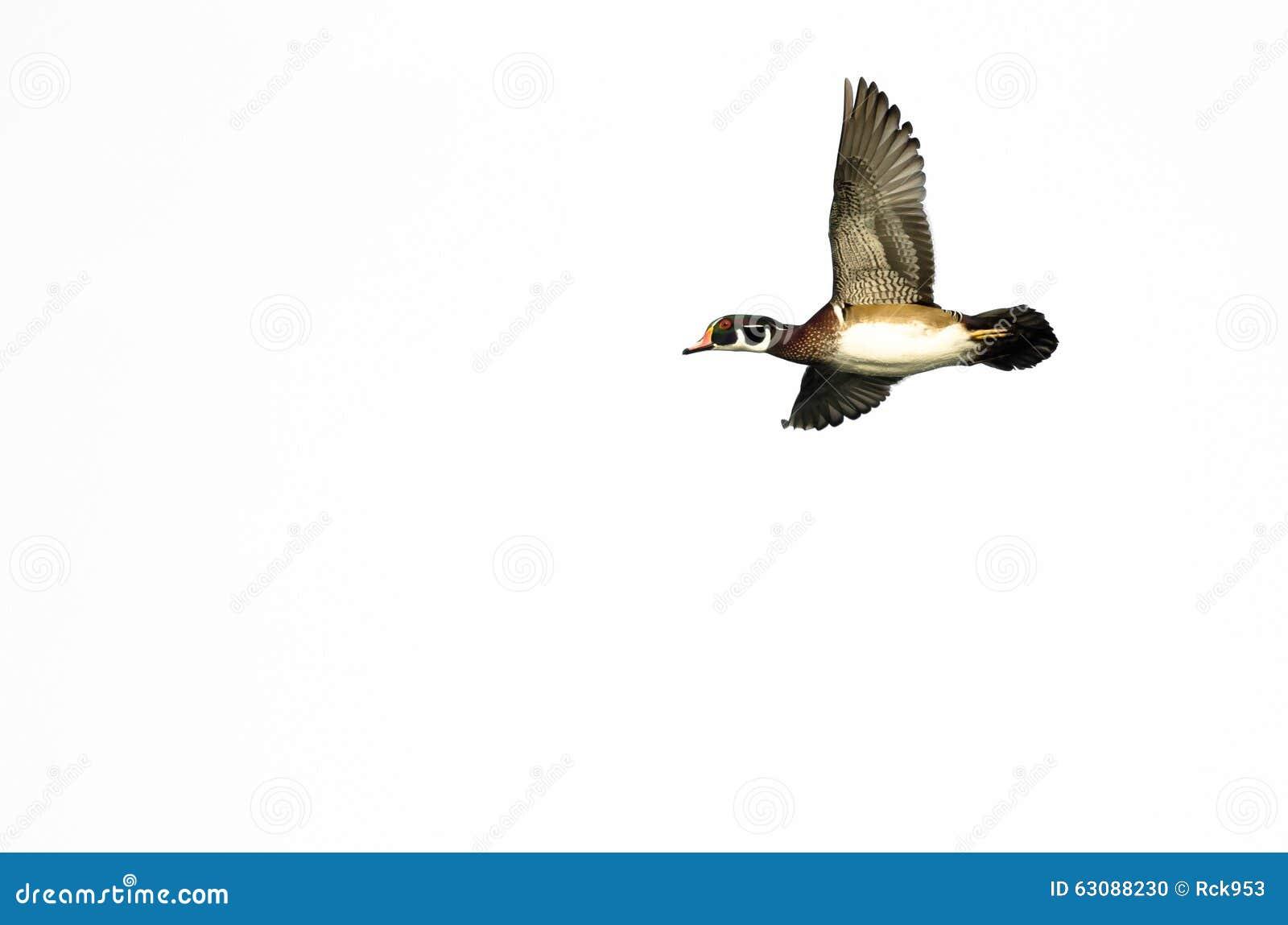 Download Duck Flying Against En Bois Masculin Un Fond Blanc Photo stock - Image du contre, sauvage: 63088230