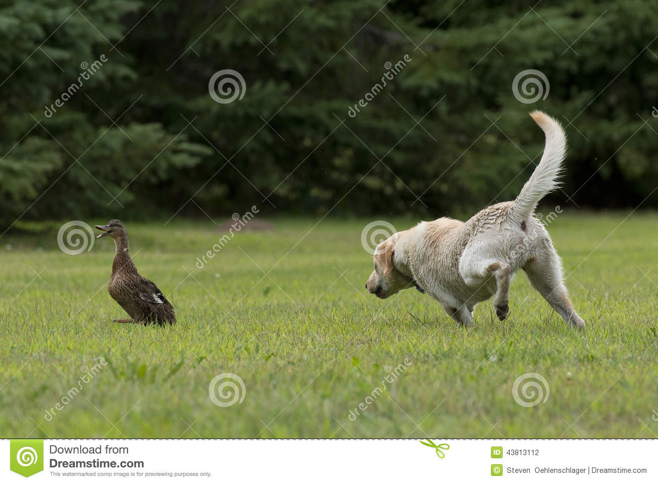 Training Your Dog To Fetch Ducks