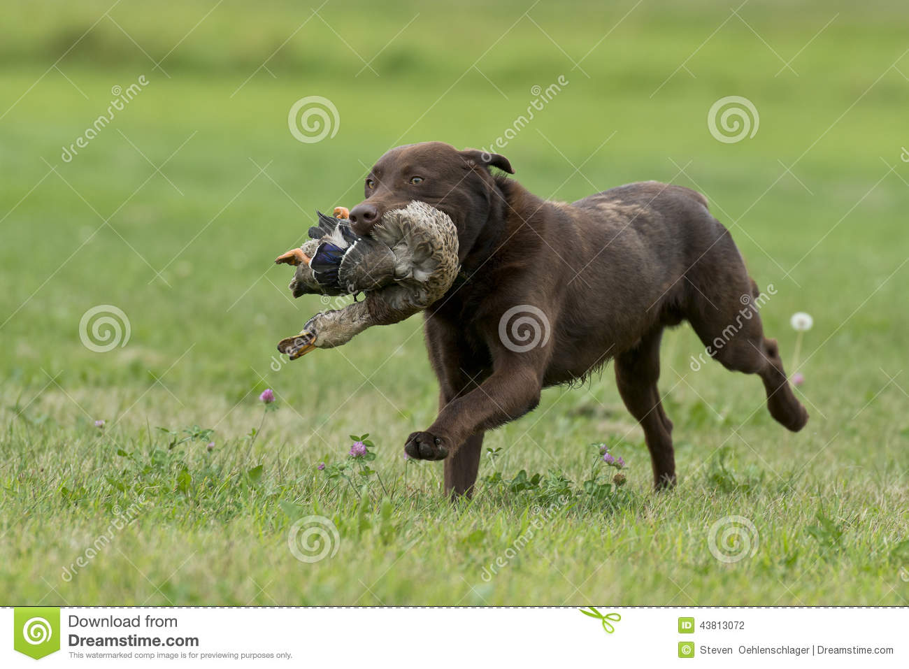 Image Result For Duck Hunting Dog Training