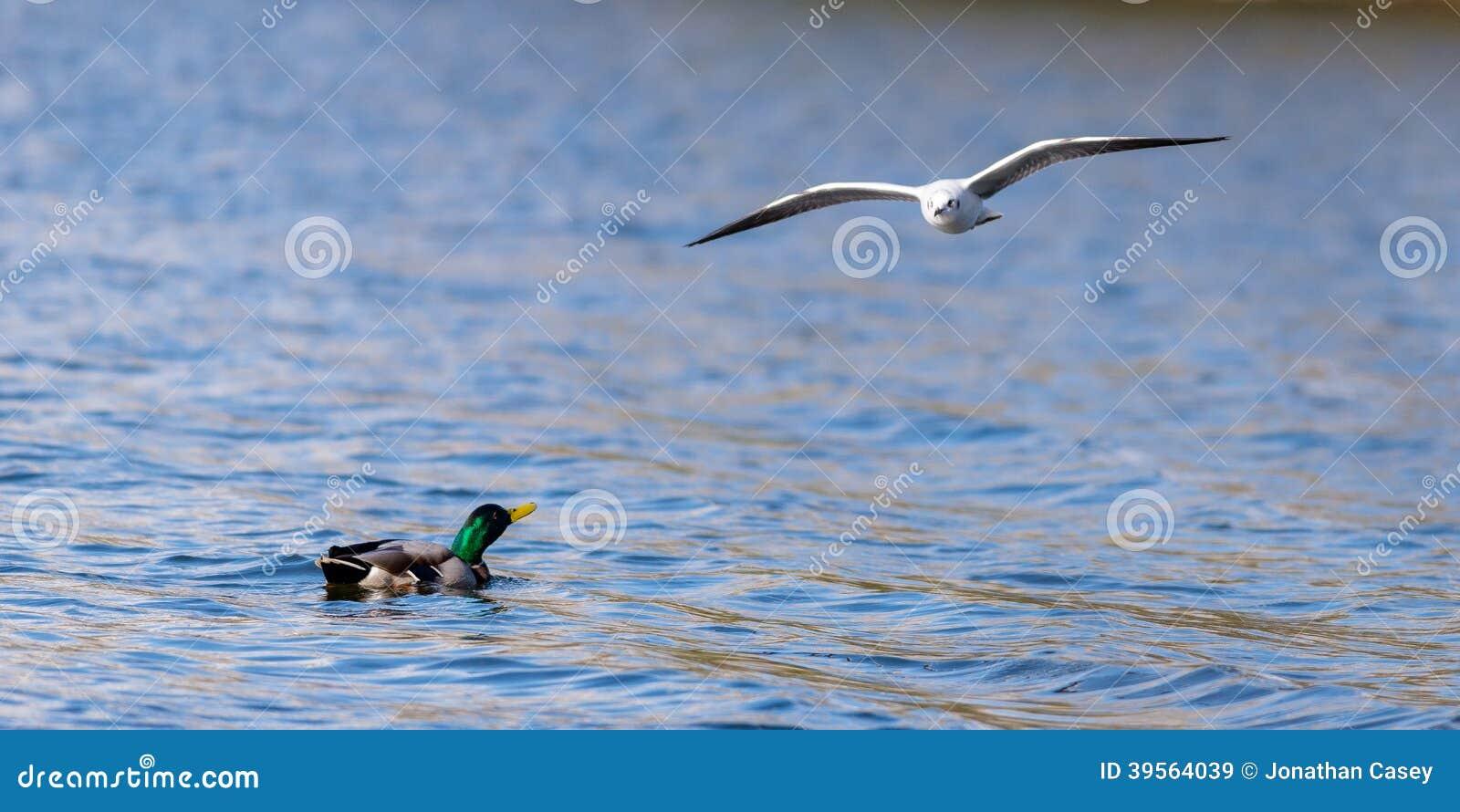 Duck Looking Up At Gull som flyger över sjön