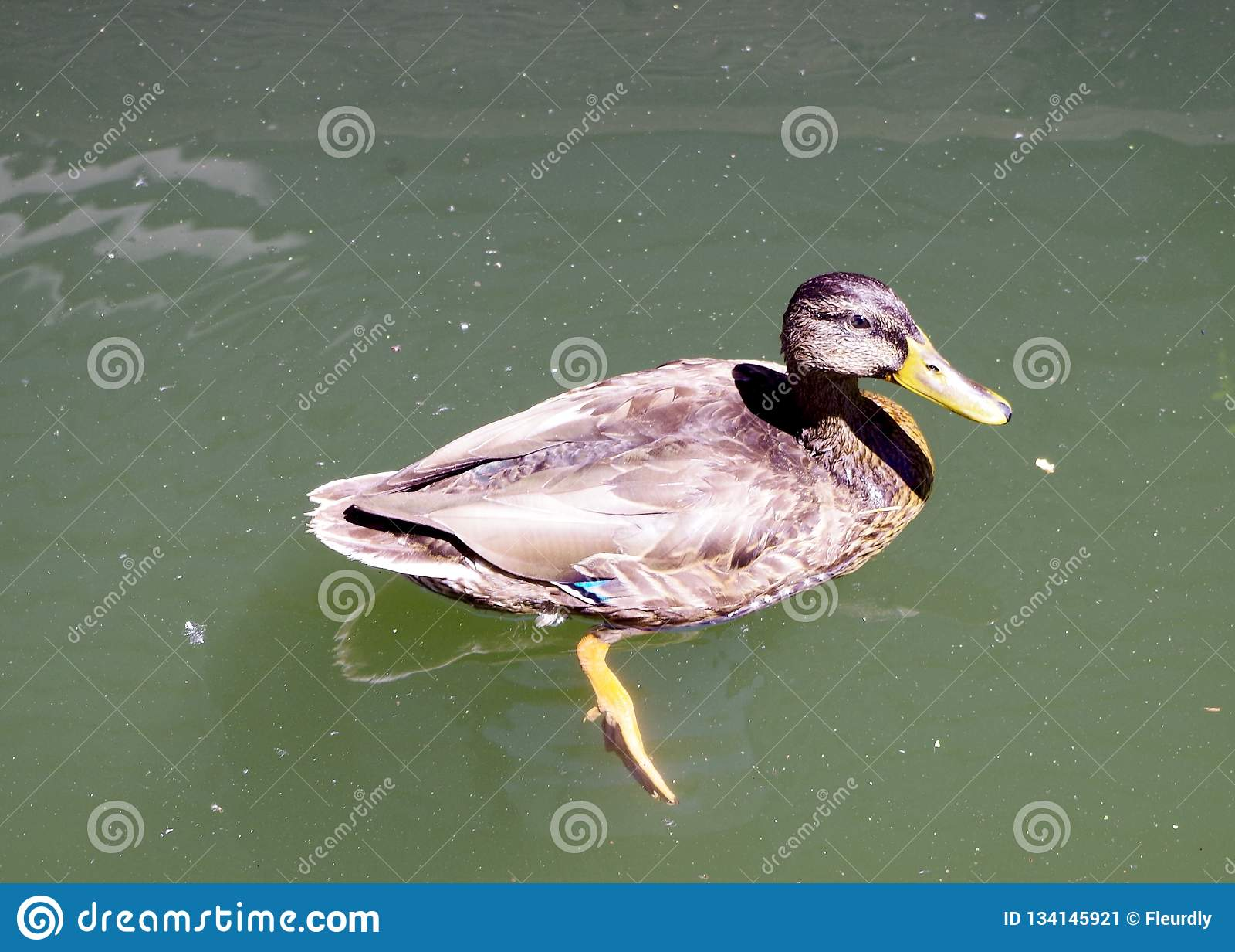 Duck Near Floating Deck seguro, Portland Oregon, EUA