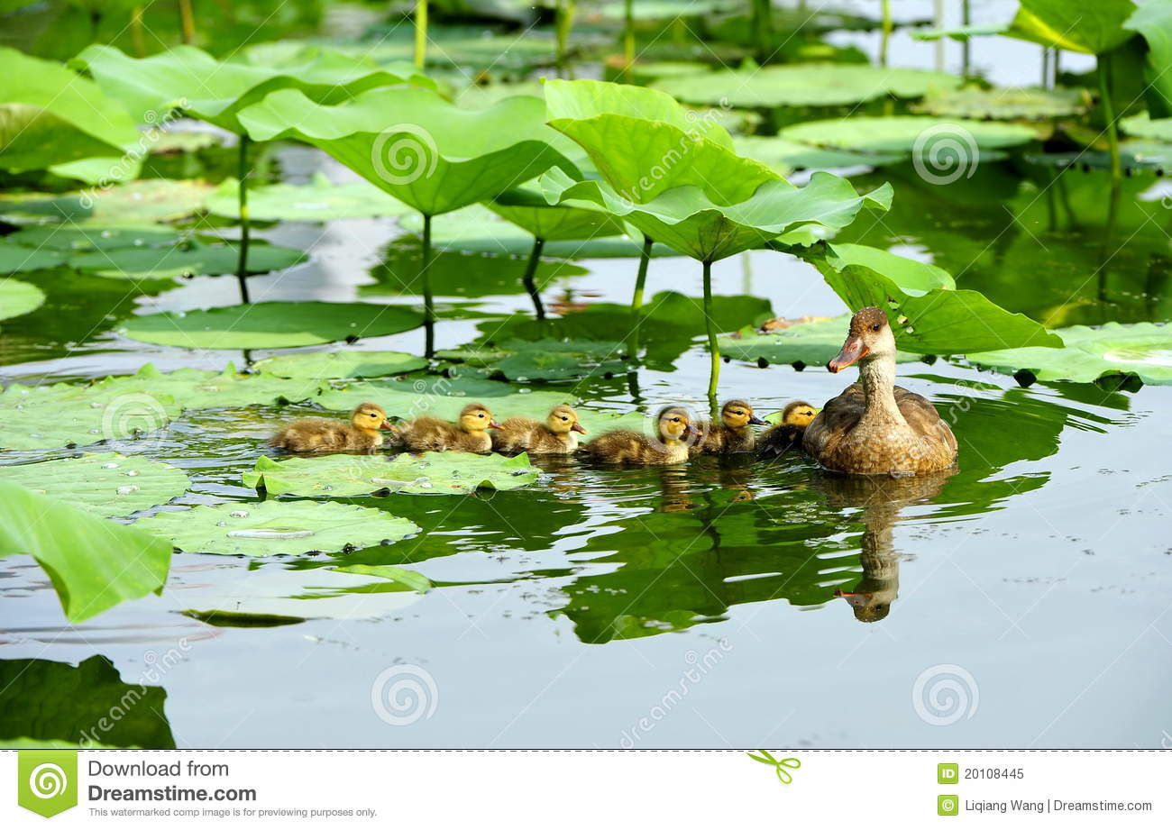 Duck pond royalty free stock photo image 20108445 for Design duck pond