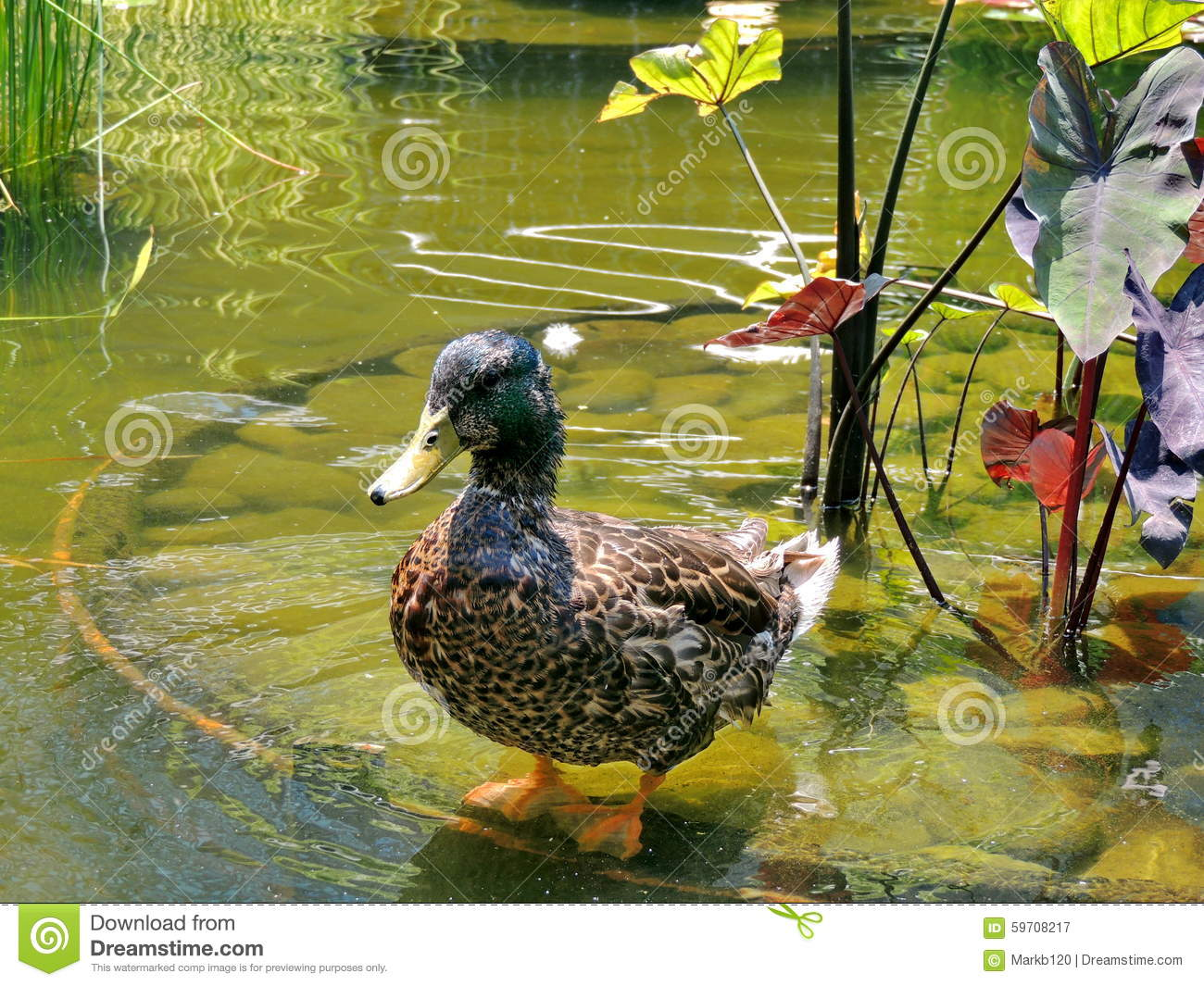 Duck stock photo image 59708217 for Design duck pond