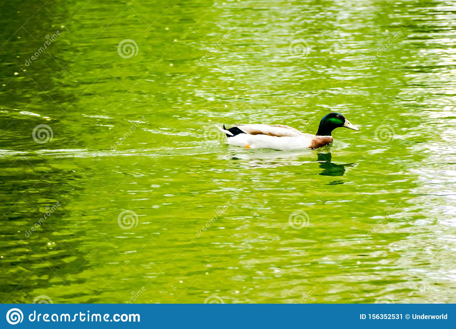 DIGITAL PICTURE Duck in pond IMAGE