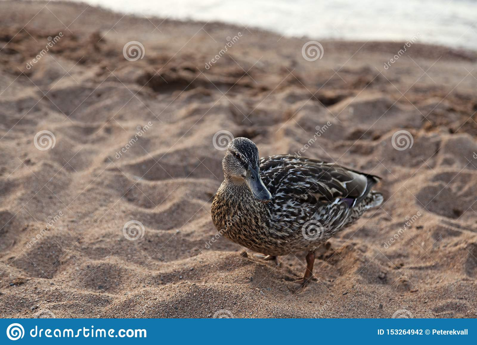 Duck on the sandy beach