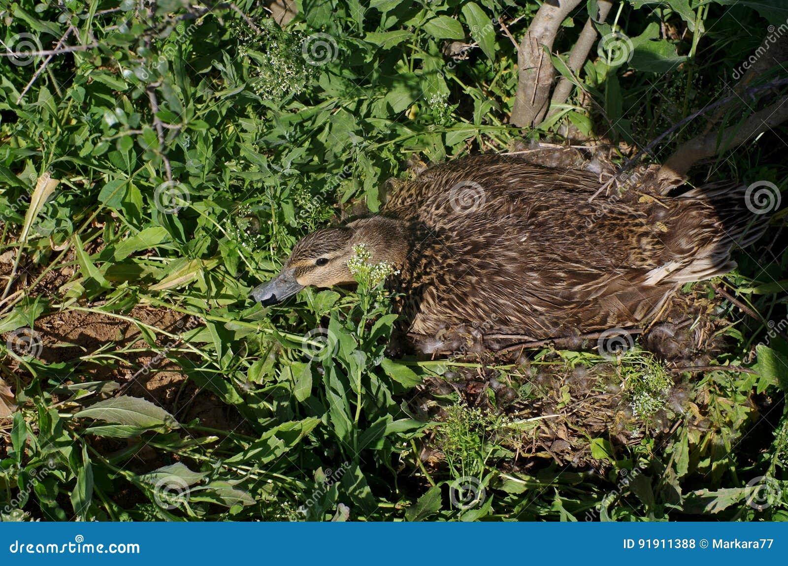 Duck sentarse en una jerarquía en la tierra