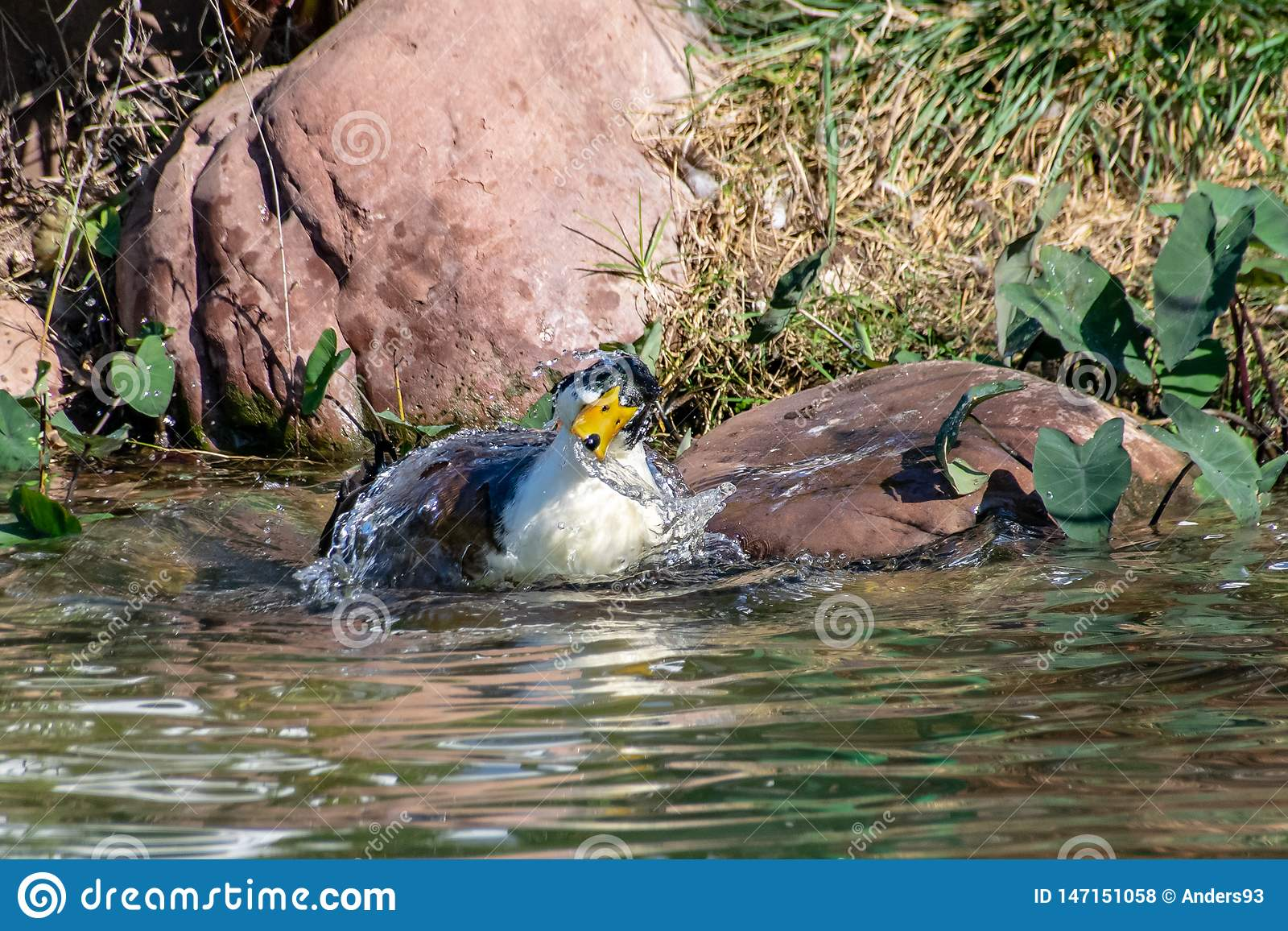 Duck splashing, preening and cleaning feather plumage in a lake