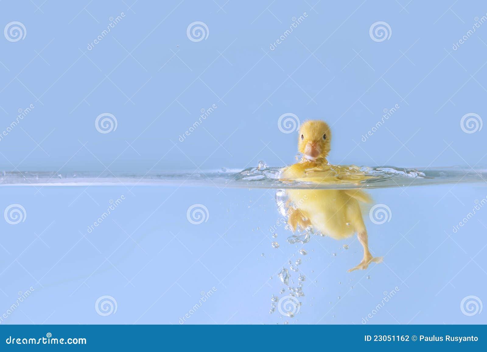 Duck splashing into water