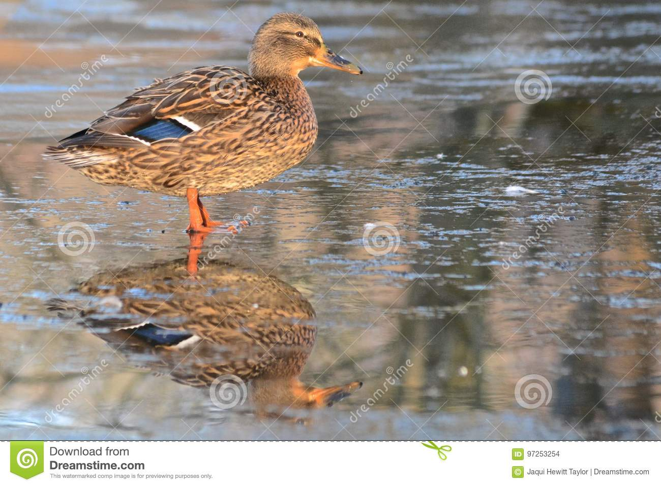 Download A duck standing on ice stock photo. Image of southampton - 97253254