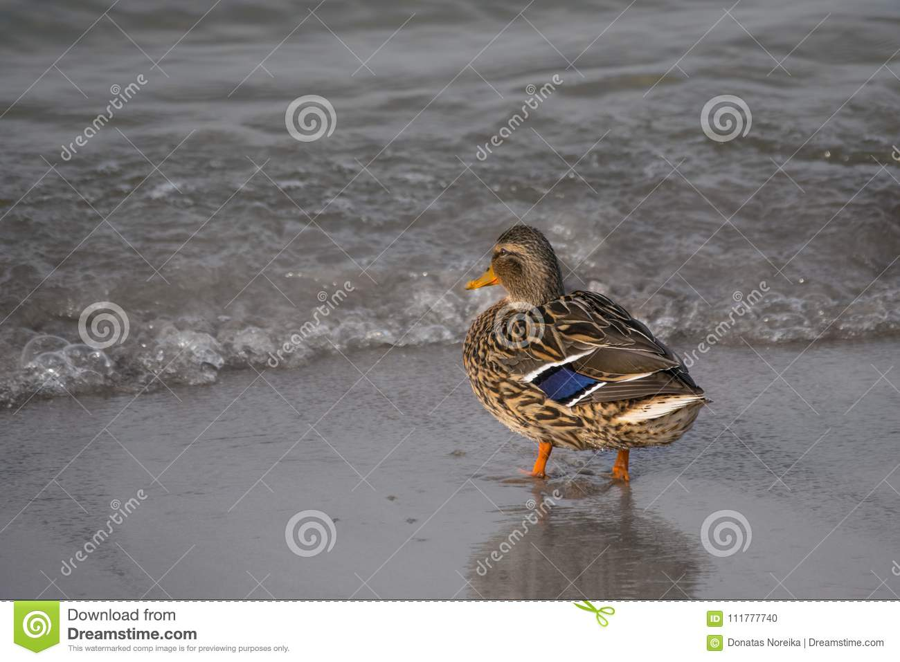 Duck standing on sand
