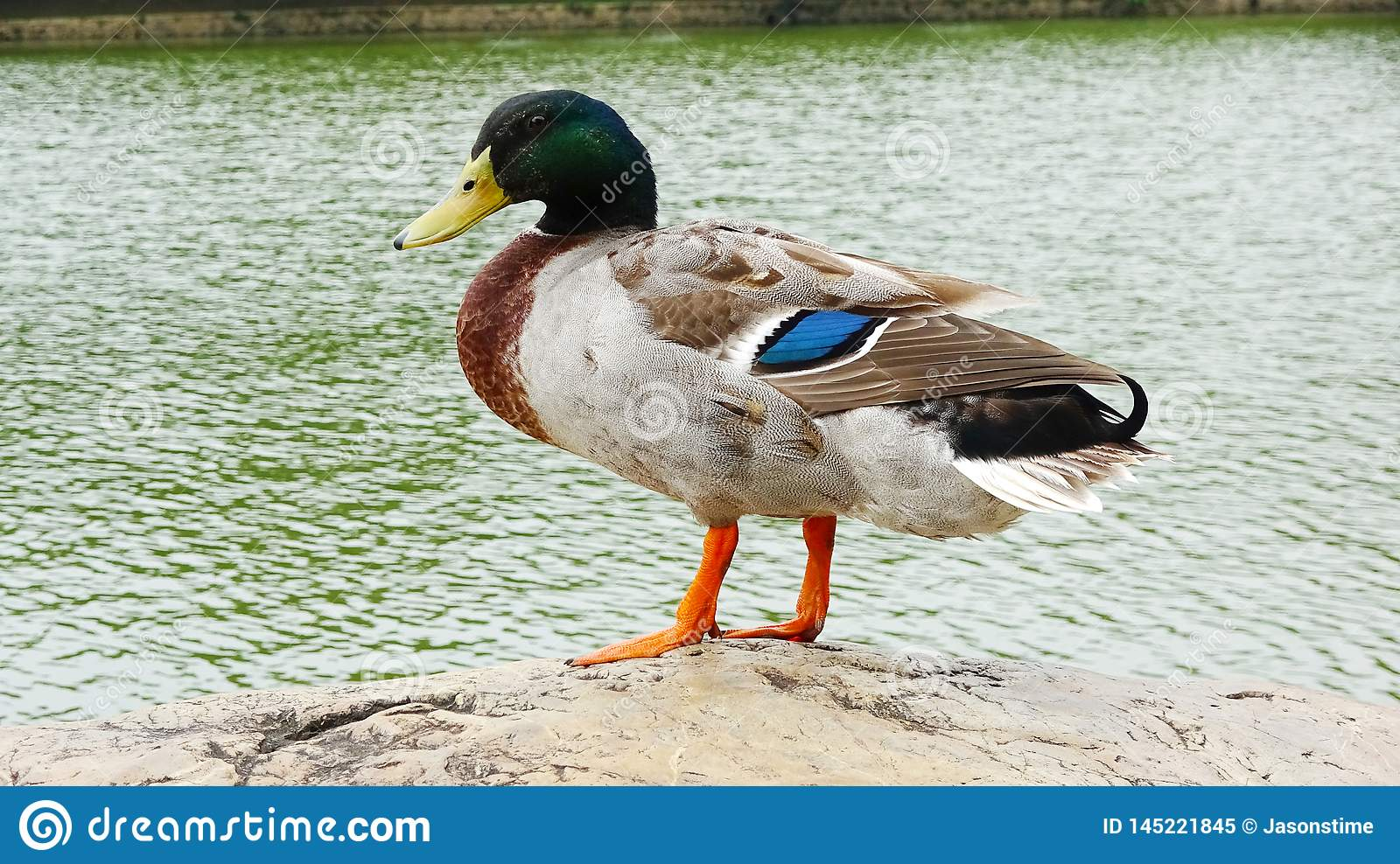 Duck stands by the lake