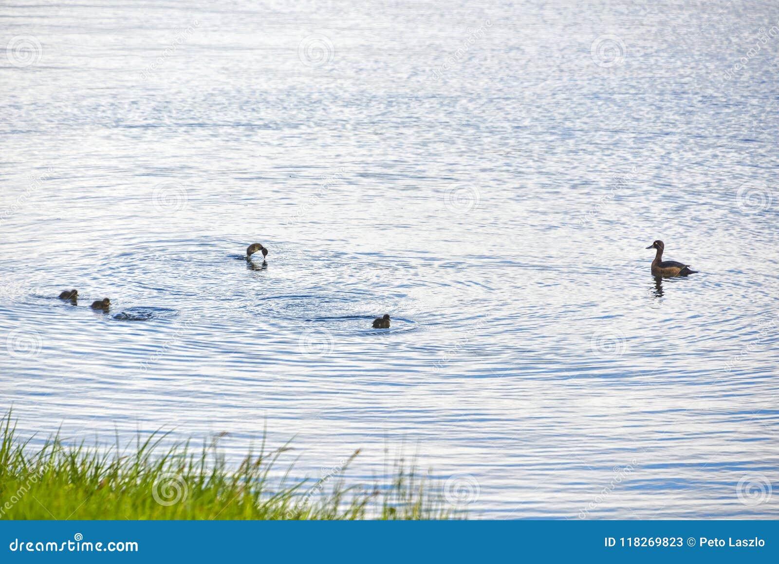 Duck Swiming dans l eau et la nature de apprécier