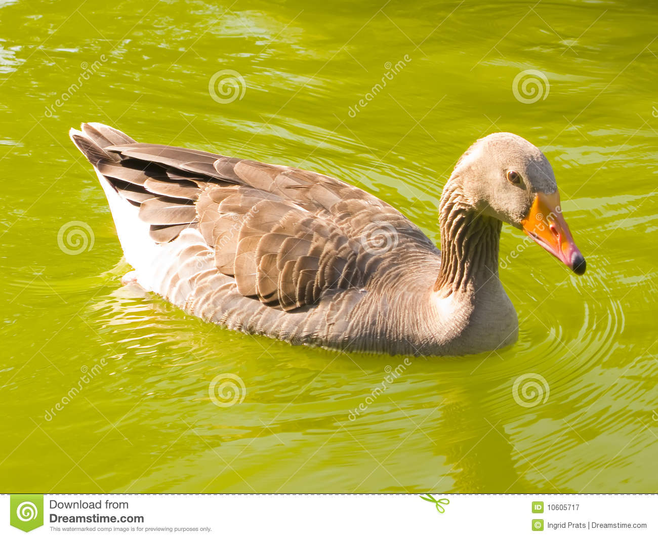 A Duck Swimming Royalty Free Stock Photography - Image ...