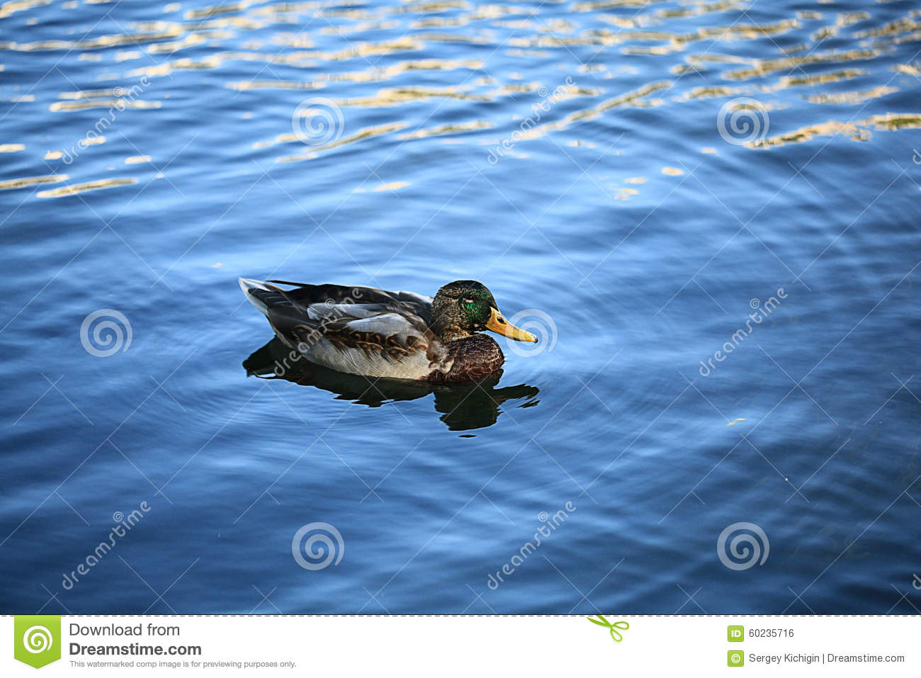 Duck swimming in blue water stock photo image 60235716 for Duck pond water