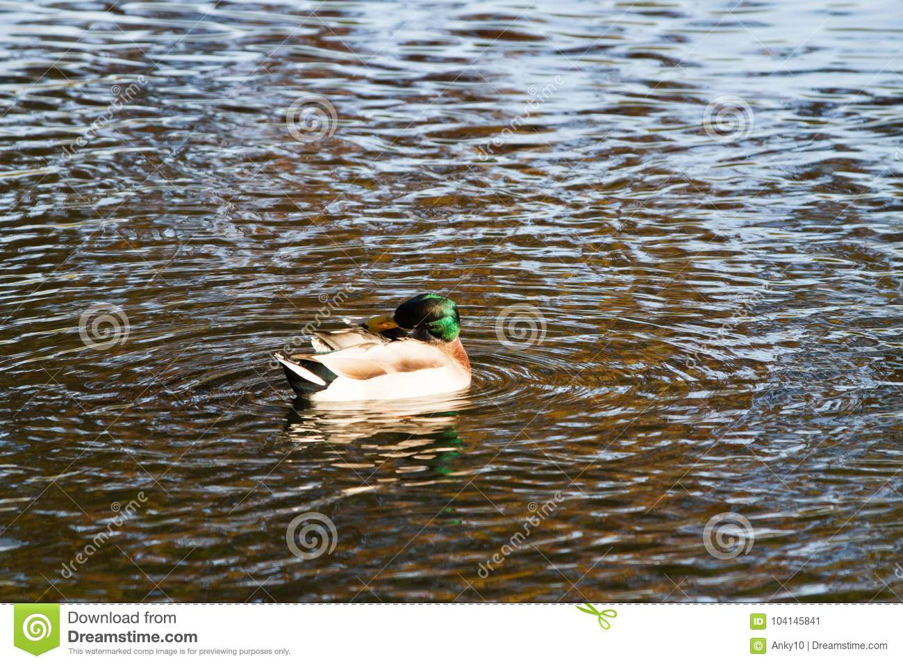 Duck Swimming On Lake In Autumn Stock Image - Image of aviary ...