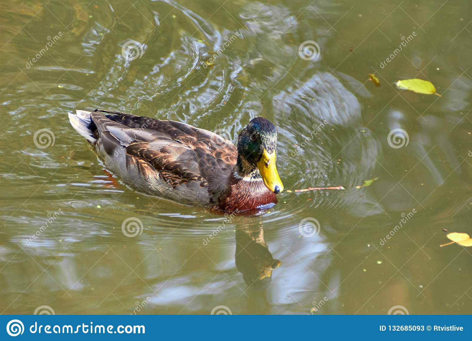 Duck swimming in the lake. Bird with bright multi-colored feathers. Duck with a beautiful color floats on water.