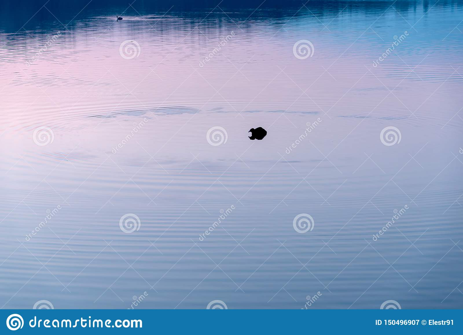 Duck in purple
