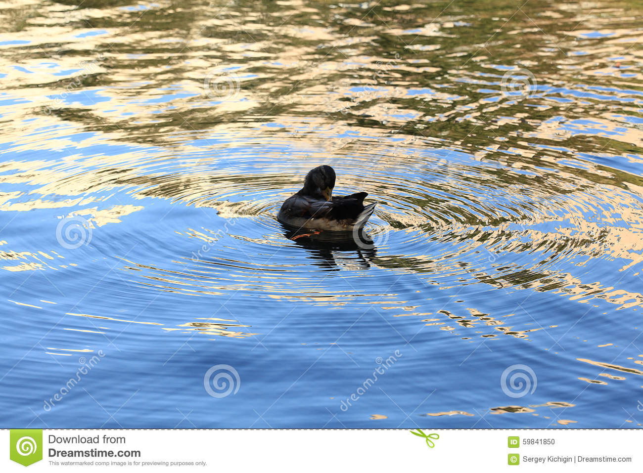 Duck swimming stock photo image 59841850 for Duck pond water