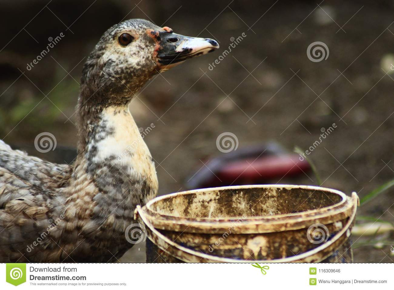 duck thirst and drink stock photo image of duckduckgo 116309646