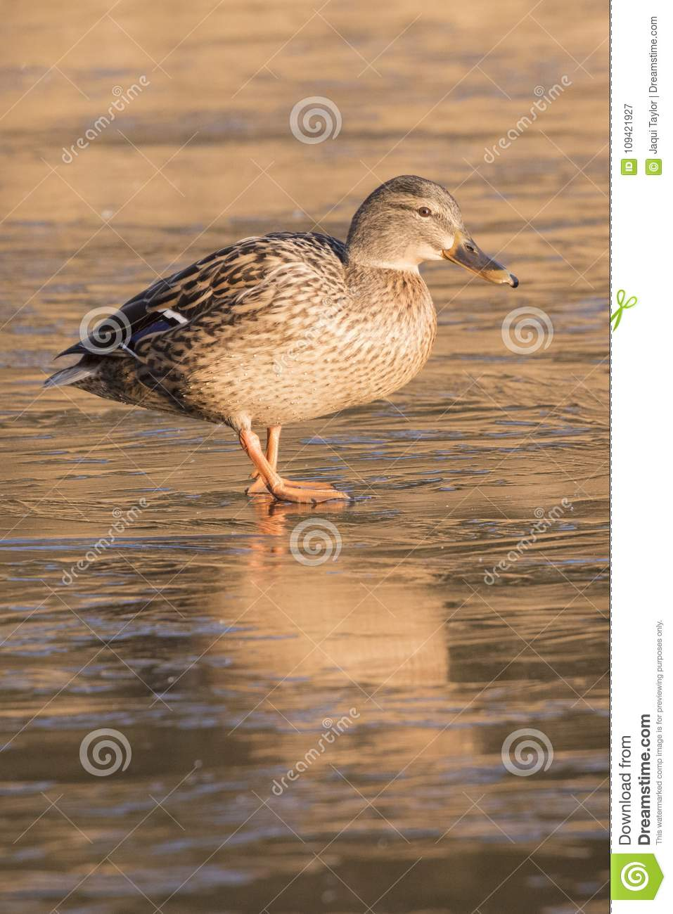 A duck walking on the ice