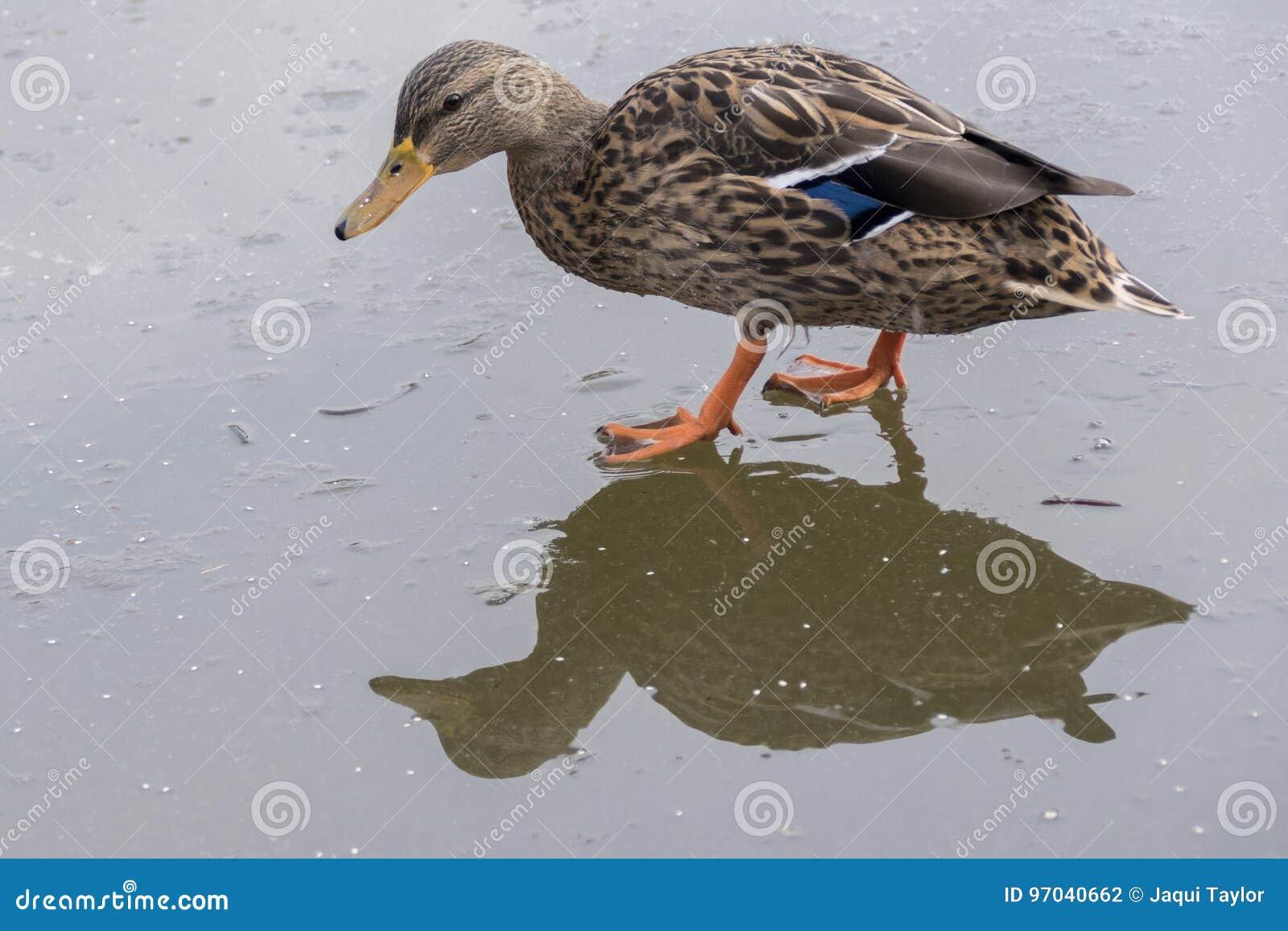 Duck walking on ice