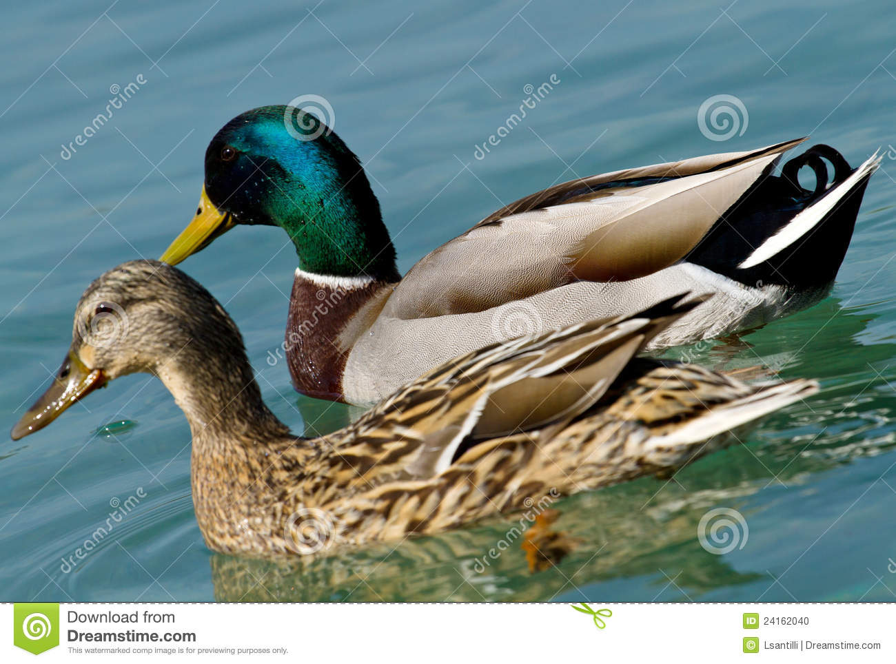 Duck in the water stock photo image of pond for Duck pond water