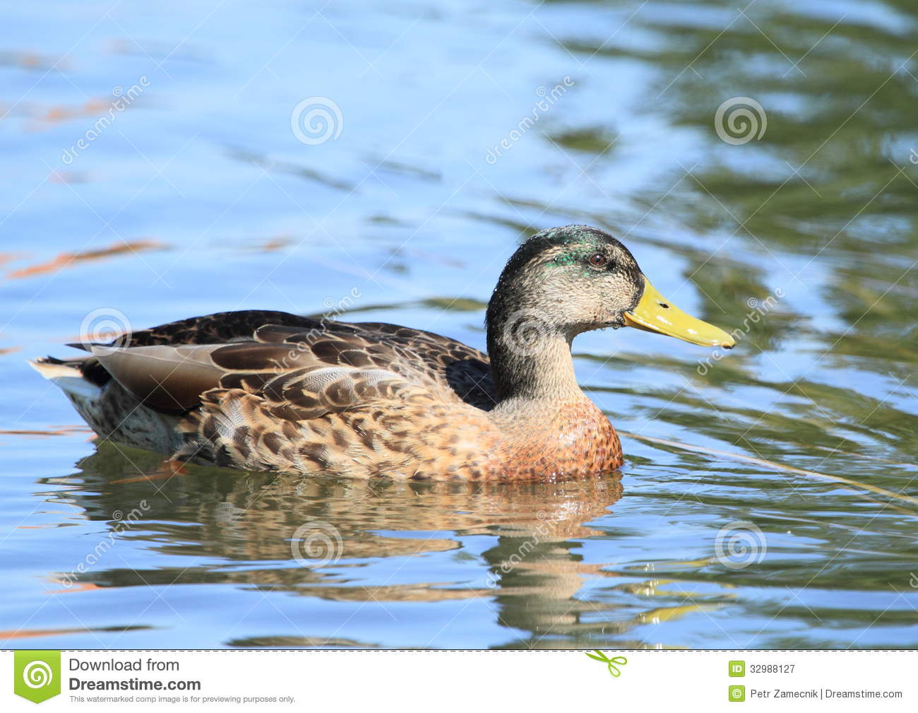 Duck On Water Royalty Free Stock Photography - Image: 32988127