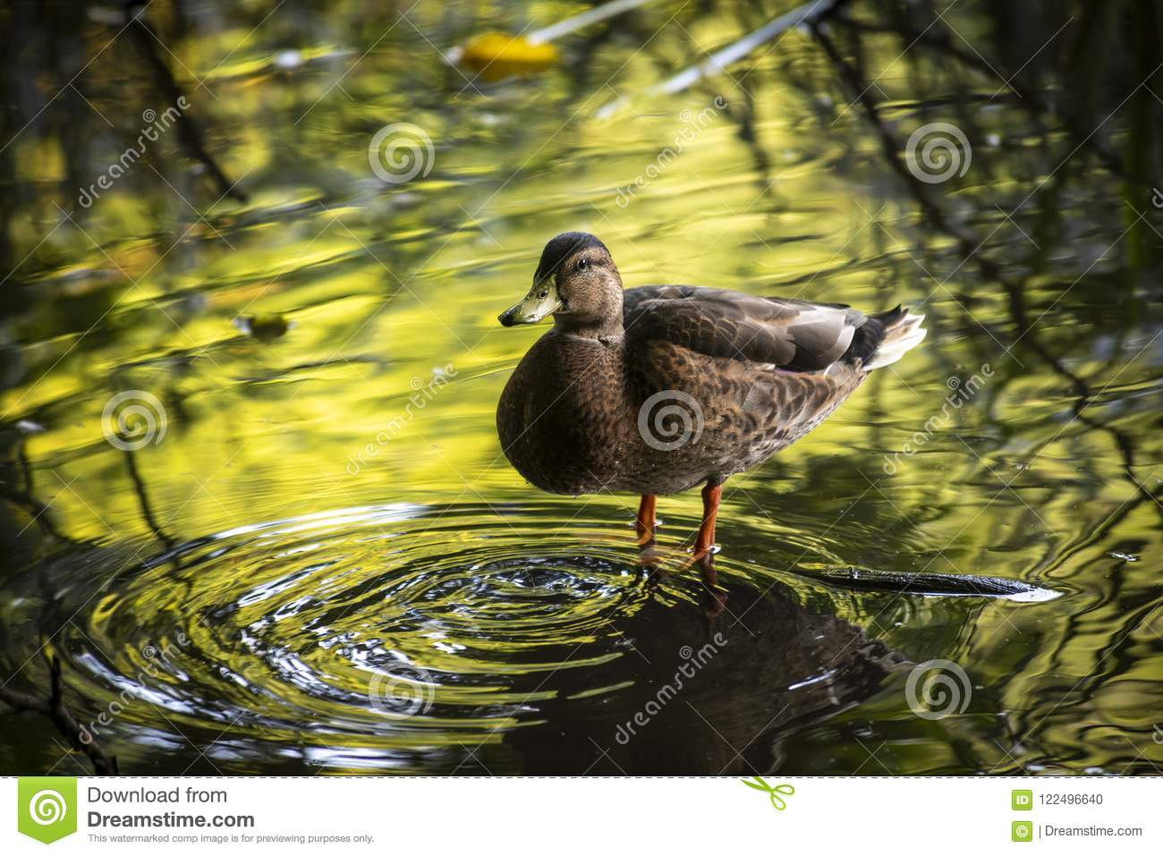newest 04fdd 9c61c Duck In Water Reflection Nature Ecology Save Live Stock ...