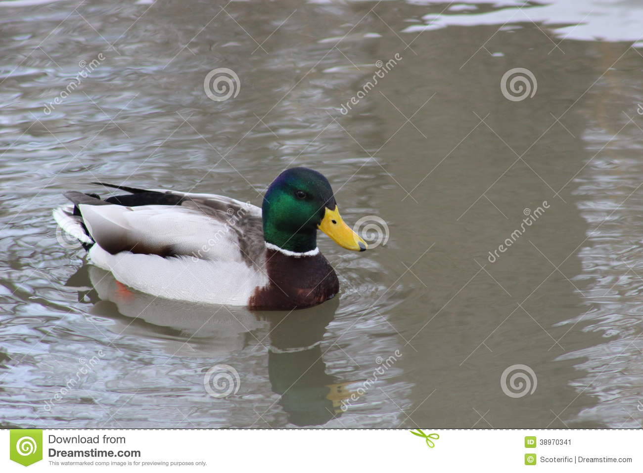 Duck In Water Stock Photo - Image: 38970341