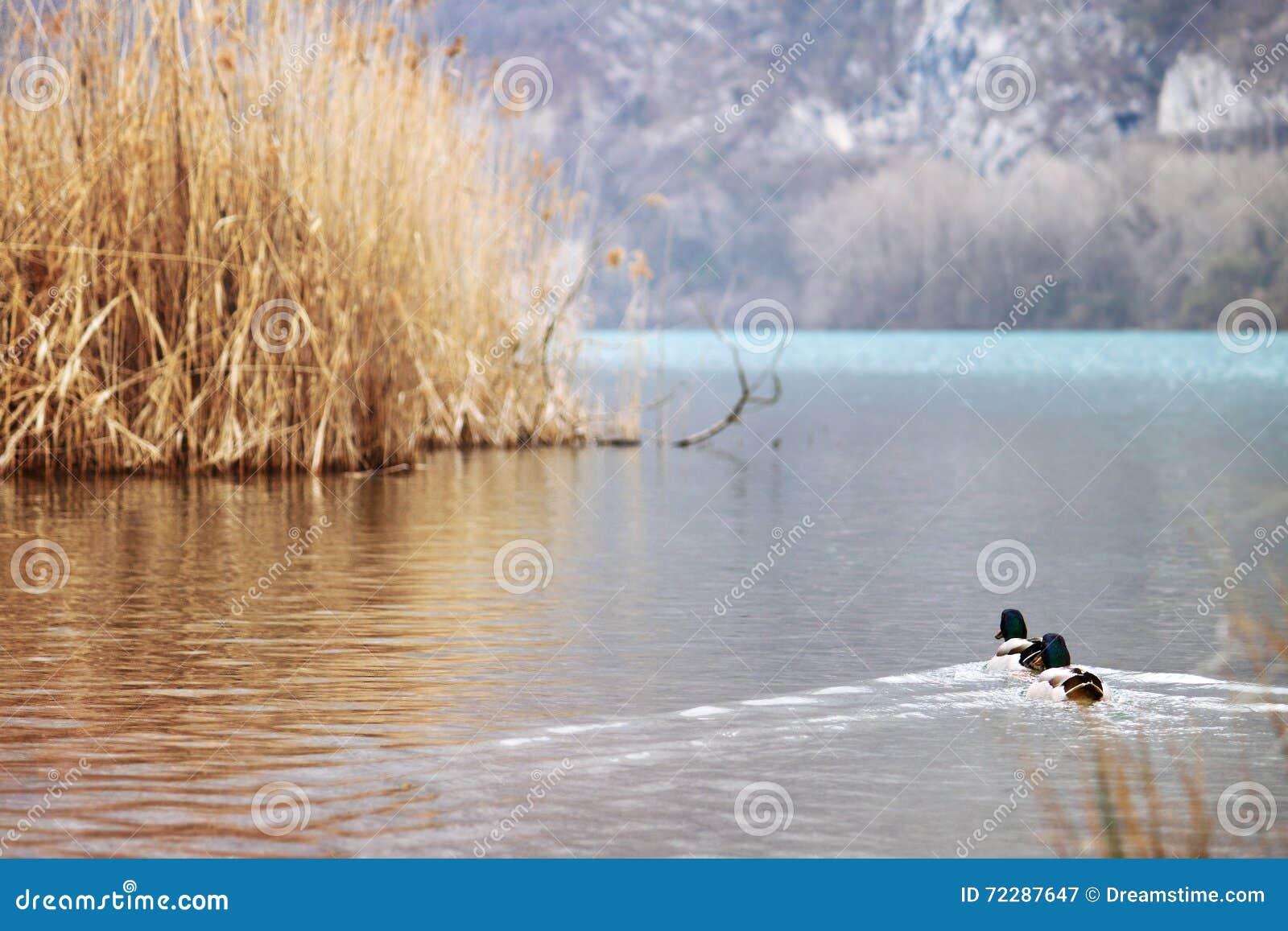 Download Duckes плавает на воде стоковое изображение. изображение насчитывающей waterfowl - 72287647