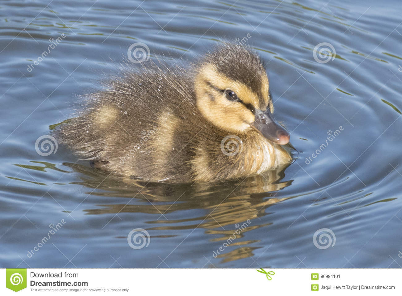 Duckling on Southampton Common