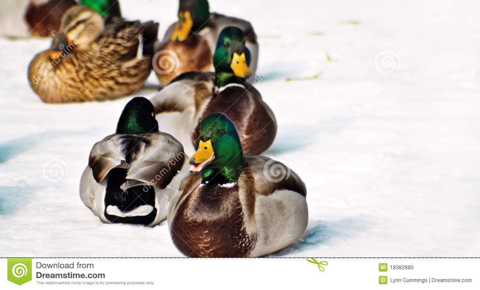 Ducks зима