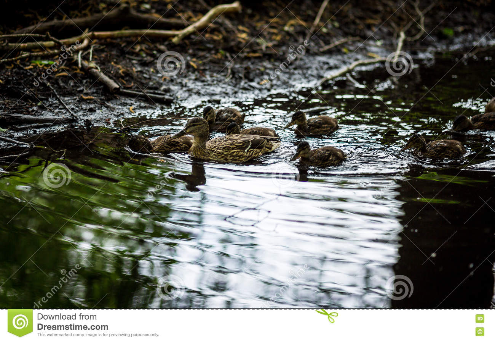 Ducks семья