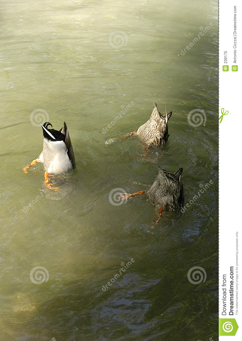 Ducks royalty free stock photo image 239175 for Fishing for ducks