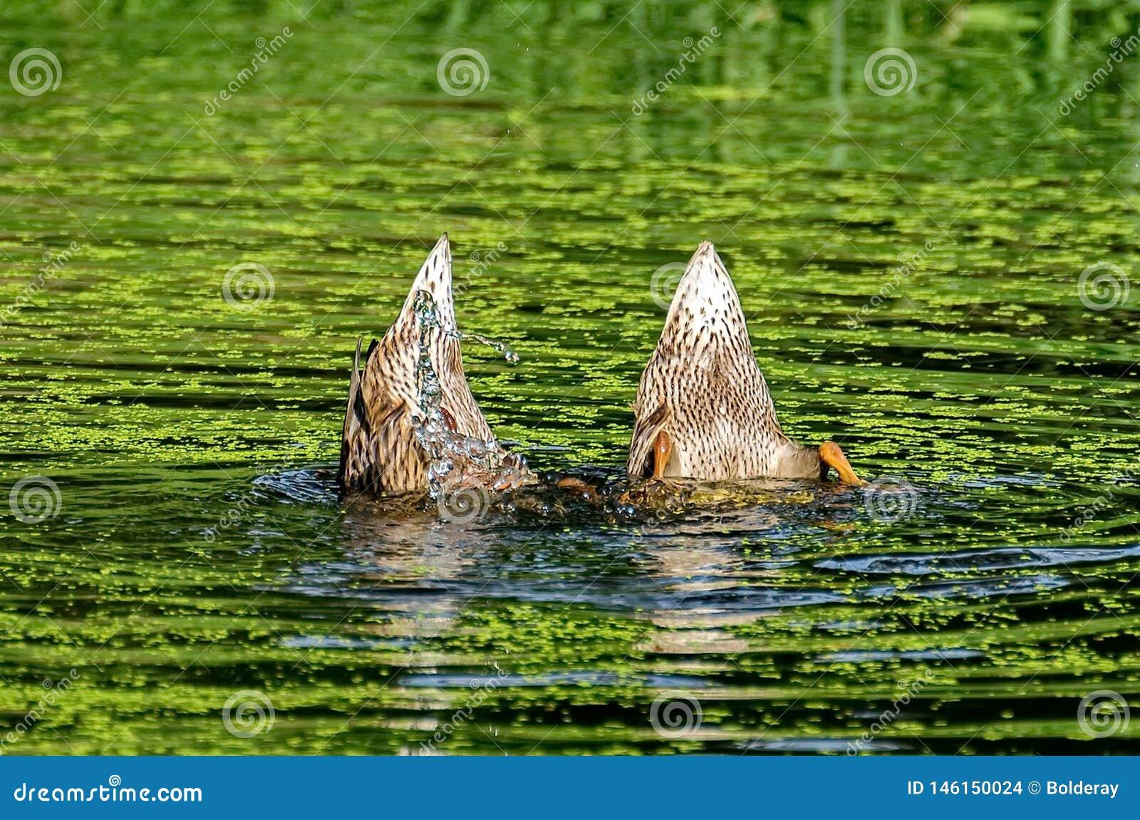Ducks dived. `Dance of little ducks`. Duck tail up. Mallard - a bird from the family of ducks detachment of waterfowl.