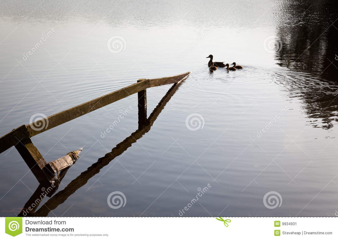 Ducks and ducklings swim past submerged fence