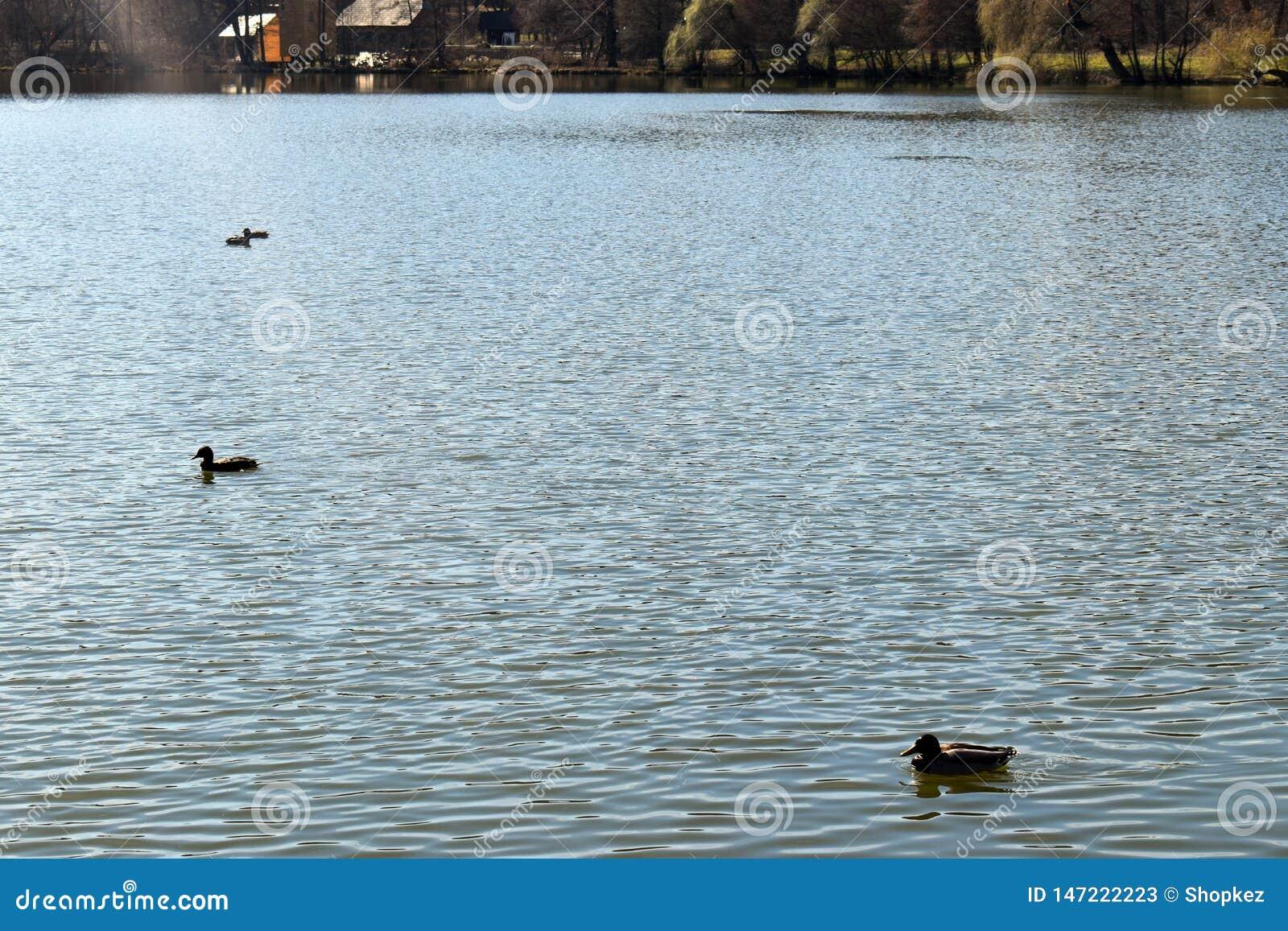Ducks family swimming on the shining lake at sunset