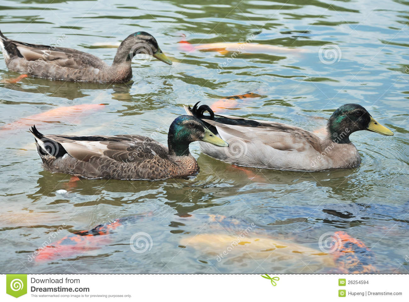 Ducks and fish stock images image 26254594 for Fishing for ducks