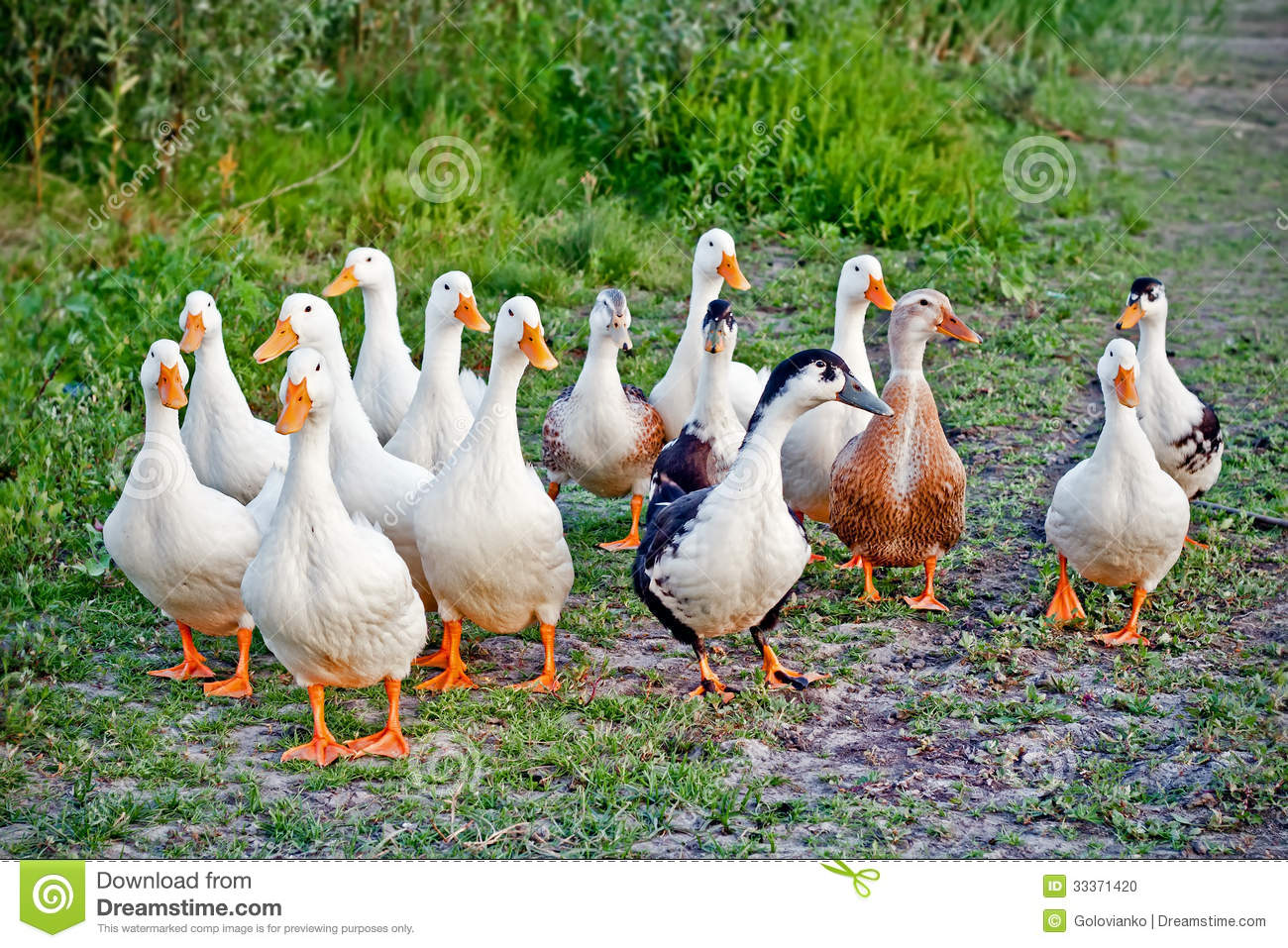 Ducks Flock Stock Photo - Image: 33371420