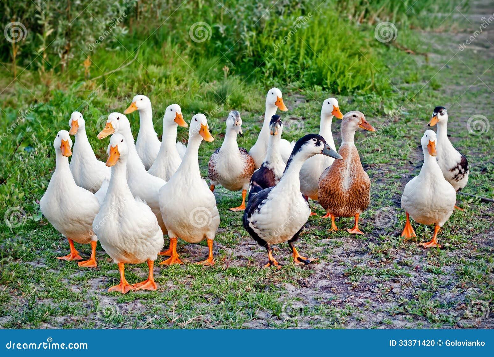 Ducks Flock Stock Photo - Image: 33371420