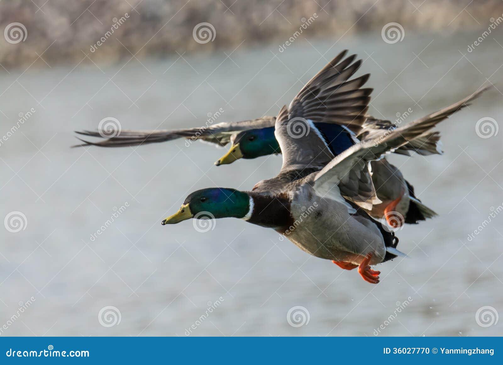 Ducks Flying Over A La...